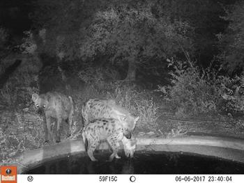 Camera Trap Hyenas