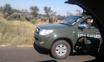 Elephants near Viva open vehicle.