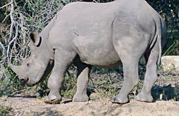 Close to Black Rhino