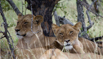 Lionesses near Orpen.