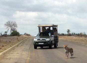 Leopard close to Viva vehicle.