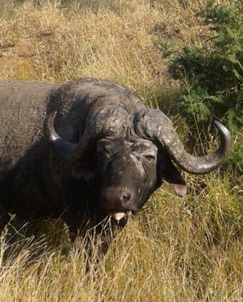Buffalo near Orpen.