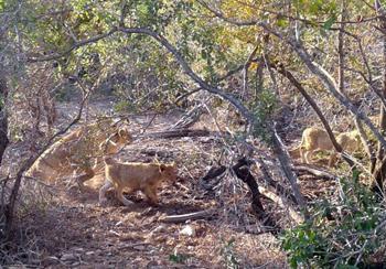 Lion cubs.