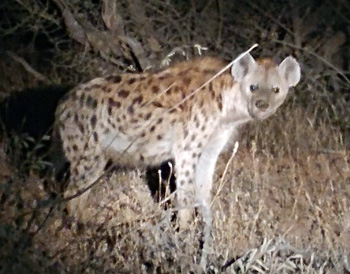 Nocturnal visitor at Masango Camp.