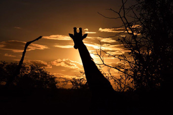 Beautiful giraffe silhouette.