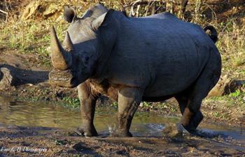 White Rhino bull.
