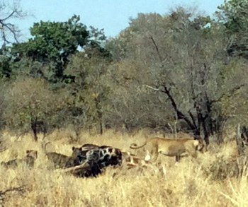 Lions with giraffe kill.
