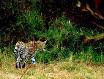 Leopard along the Timbavati River.