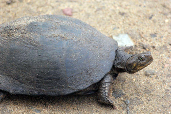 Serrated Hinged Terrapin.