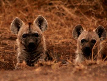 Brilliant shot of hyenas.