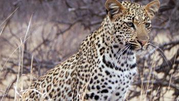 Brilliant leopard photo.
