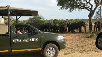Viva vehicle close up to breeding herd of elephants.