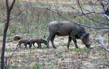 "New born ""warthoglets"""