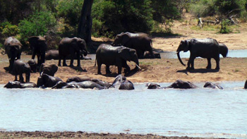 Elephants swimming in Nsemani Dam.