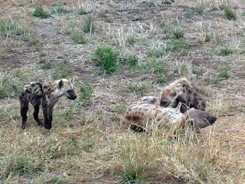 Hyena clan near road.