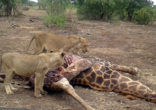 Lions on a Giraffe kill.
