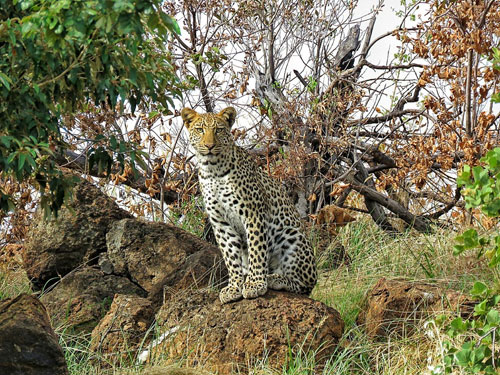 Brilliant shot of a Leopard