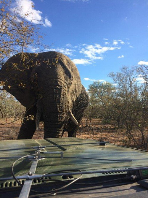 Close and personal with elephant on Tshukudu.