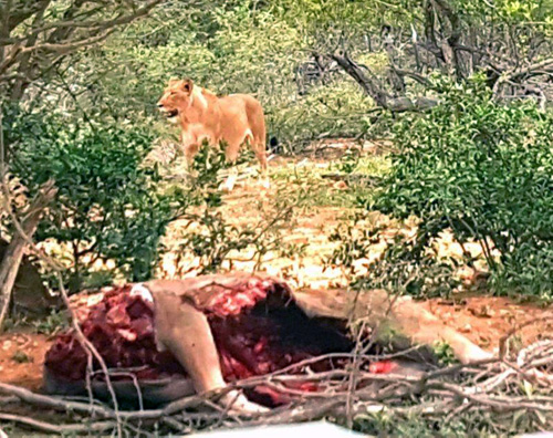Lioness with Kudu kill.