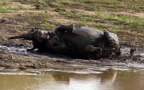 Rhino having a good roll in the mud.