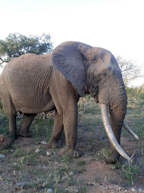 Good photo of Ezulwini, our biggest tusker.