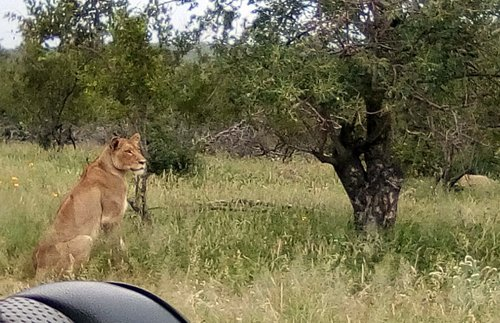 Close up of lioness.