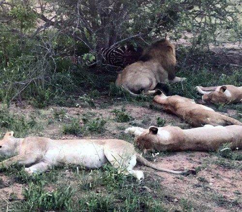 Lions on zebra kill at Tremisana.