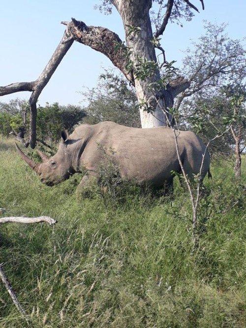 Good shot of White Rhino on the move.