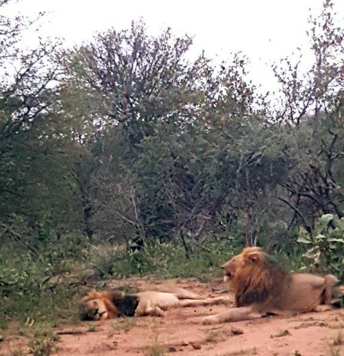 Two lions of the Machaton pride.