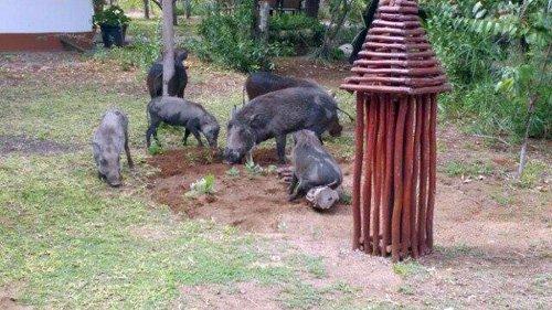 Warthogs inside Tremisana camp.