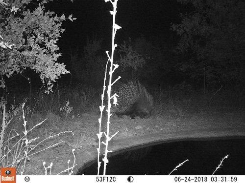 Porcupine at the waterhole at Marula Boma.