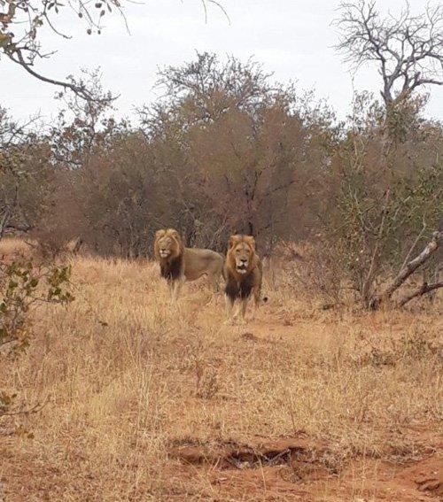 Two big male lions near Tremisana Lodge