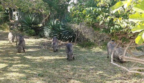 Warthogs inside Tremisana Lodge.