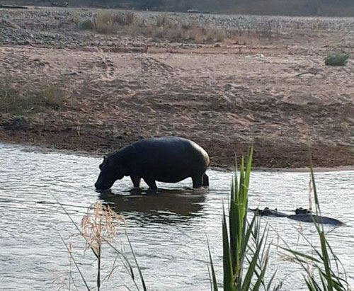 Hippo pod in Olifants River seen on bush walk.