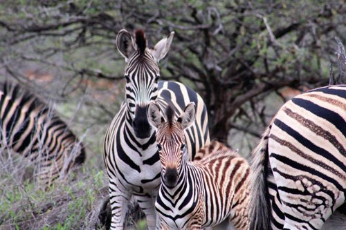 Red-head zebra.