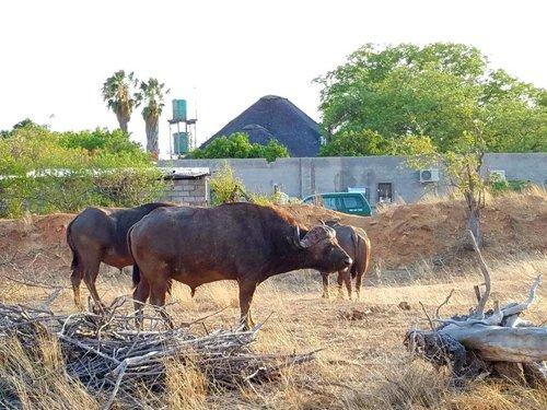 Buffalo near back end of Tremisana Lodge.