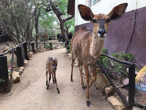 Nyala ewe with newly born lamb at Reception of Marc's