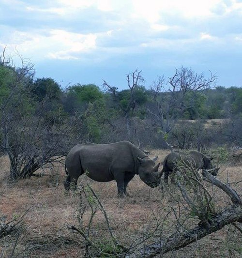 Black Rhino mother and calf near Olifants River.