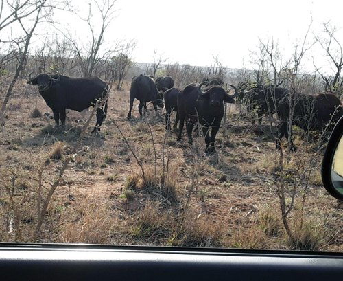 Buffalo herd right next to open vehicle.