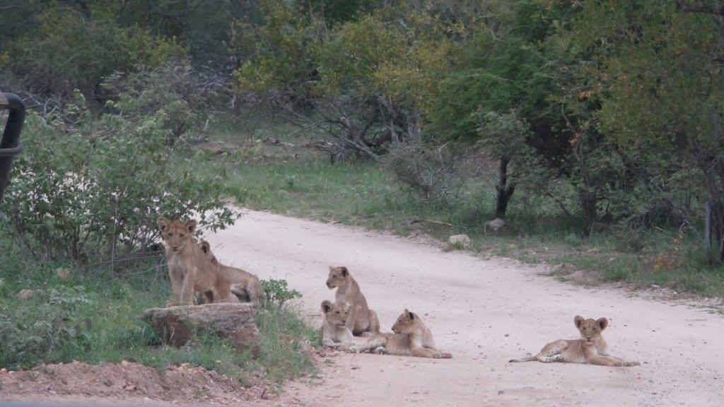Lion cubs on roads near Tremisana Game Lodge