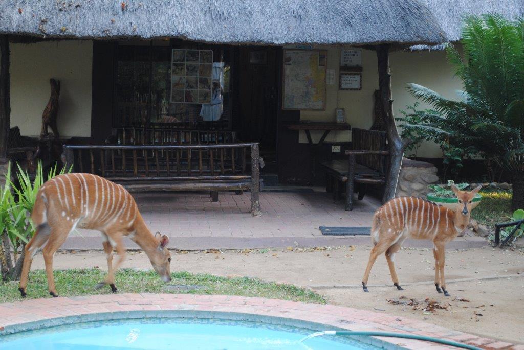 Nyala near swimming pool at Marc's Treehouse Lodge