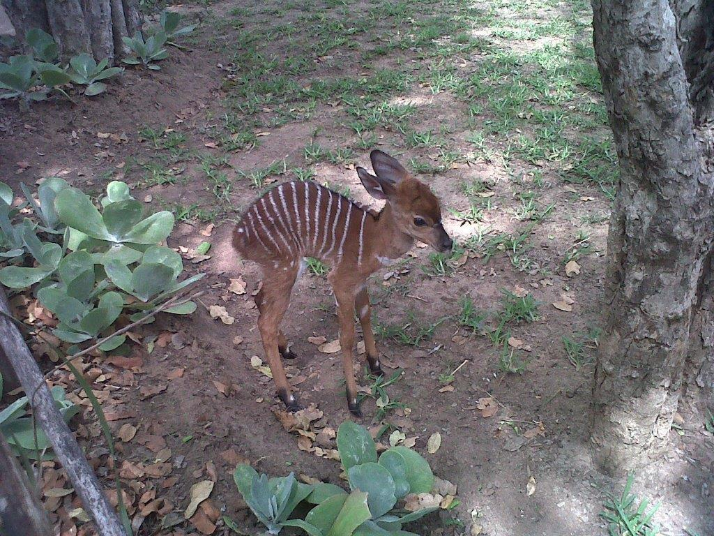 Baby Nyala seen at Marc's Treehouse Lodge