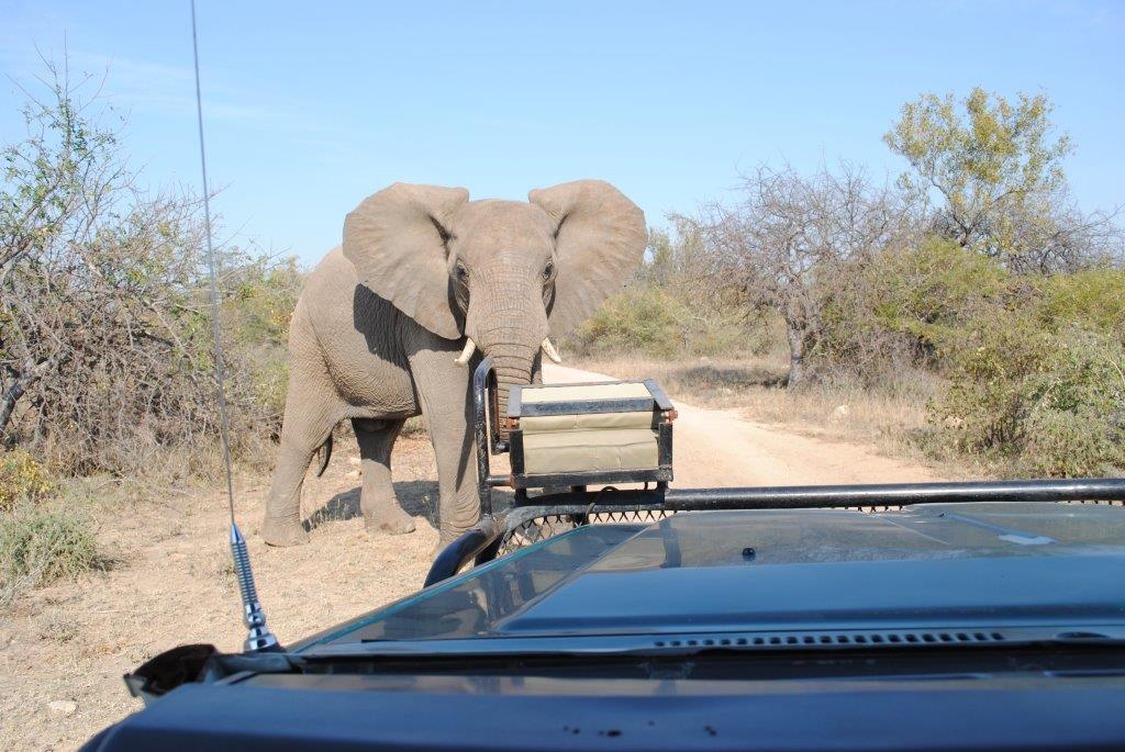 Young bull elephant keeping a close eye on us in the Kruger
