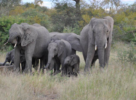 Elephants were seen at Tremisana within 3 days of the fences with Kruger being dropped