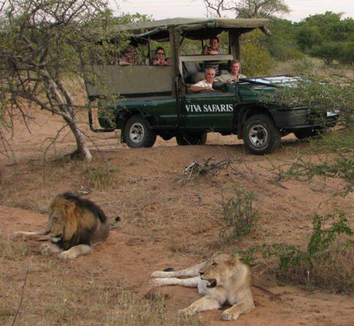 Viva clients in close proximity to lions