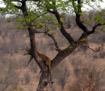 Leopard in Jackalberry Tree