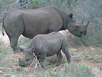 Rhino mother and calf