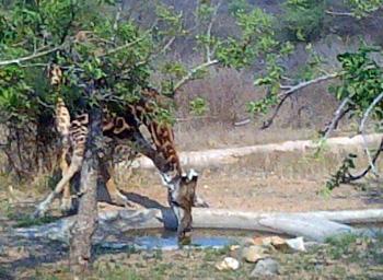 Giraffe drinking at Waterhole in front of Tremisana's Lapa