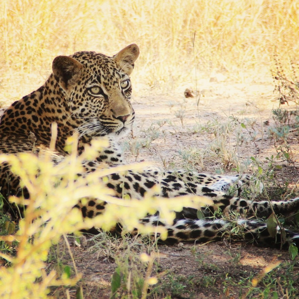 Beautiful shot of Leopard