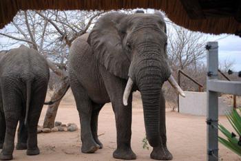 Elephants at front gate of Tremisana